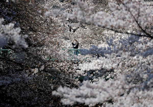 сакура япония